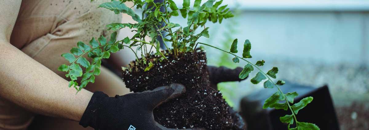 hands planting a plant